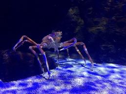 Gigantic Spider Crab